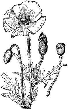 poppy flower drawing poppy clipart etc akvarely clip art kreslene filmy
