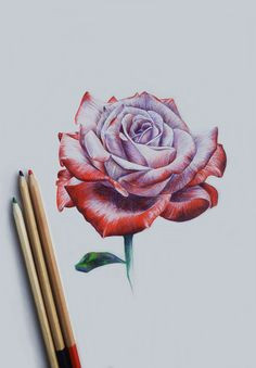 photo rose drawing pencilrealistic rose drawingrose drawingscolor pencil artflower
