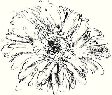 chrysanthemum sketch in pen and ink not to be used as clipart this h south licensed to about com inc