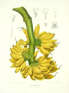 musa paradisiaca bananen zeichnungen werk illustration botanische illustration botanische abbildungen botanische