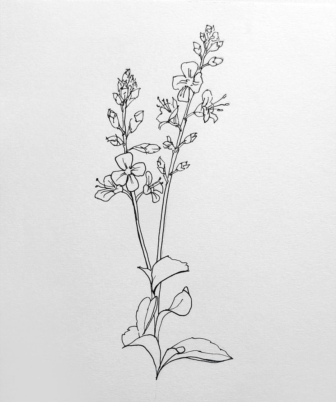 i did this line drawing a little while ago and can t remember the flower i ve been looking through my grandmas encyclopaedia of flowers