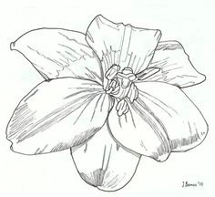 lily 1 by jamie barnes via flickr art drawing flowers