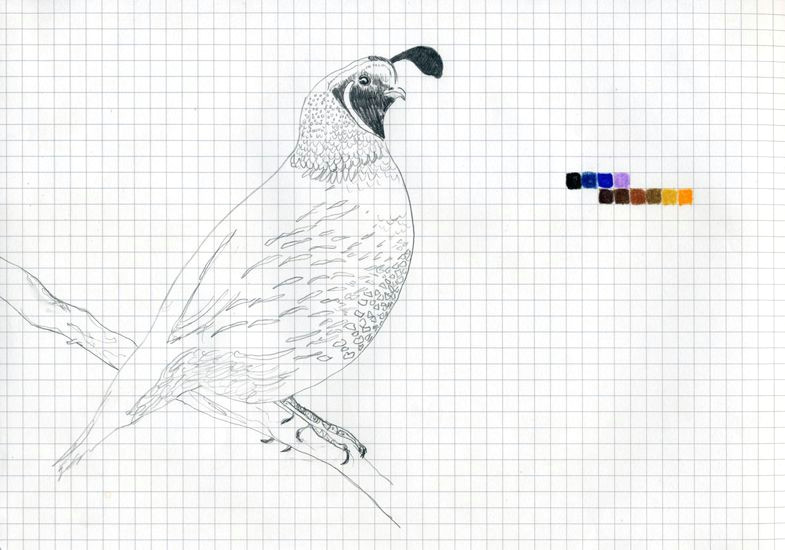 color chart drawing california quail 2011 graphite and color pencil on grid paper 9 2 3 x 6 3 4 inches