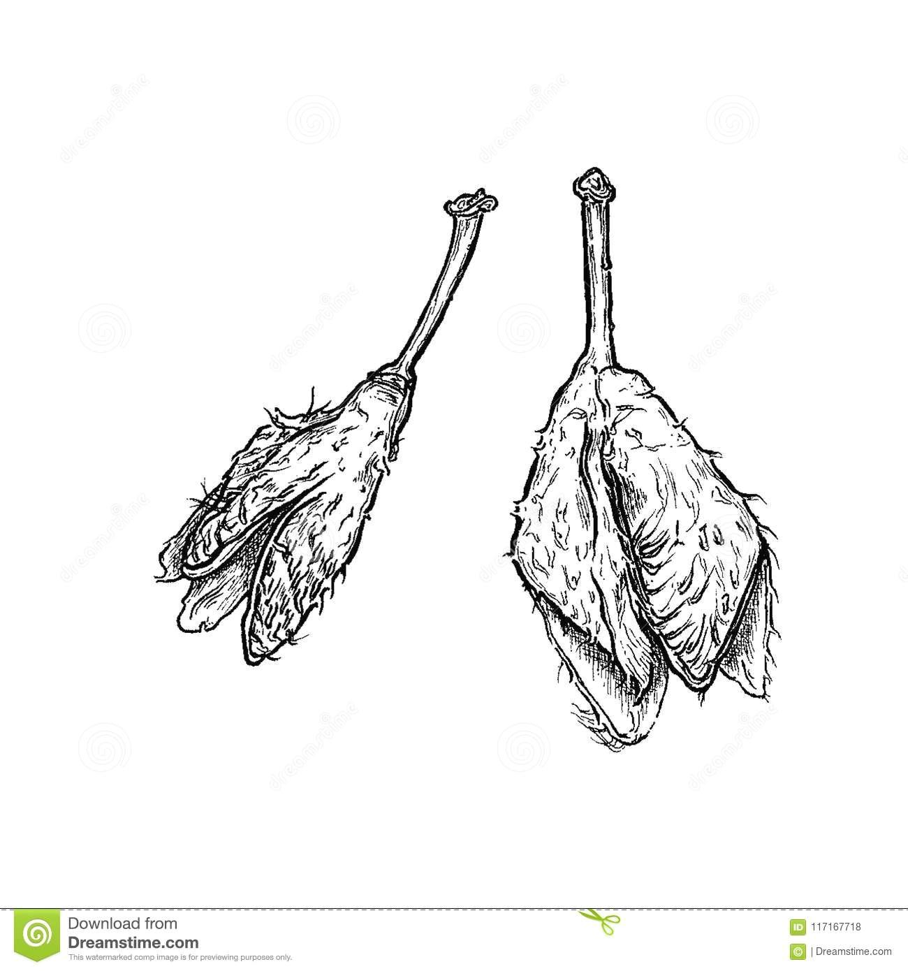 hand drawn ink botanical illustration od an immortelle on white background