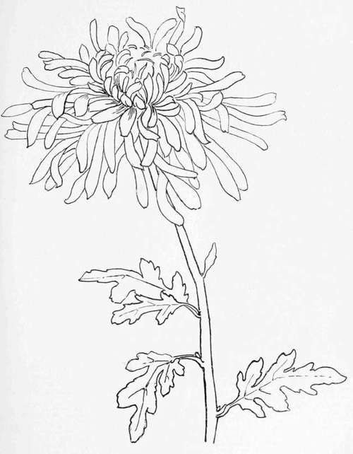 Drawing Japanese Flowers Chrysanthemum Engineer Print Artspiration Drawings Art