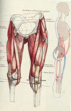 a wonderful book die gestalt des menschen by gottfried bammes leg anatomy muscle anatomy