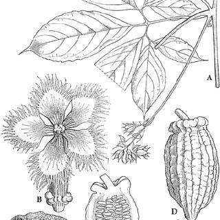 cucurbitaceae telfairia pedata a node with male inflorescence b female flower c