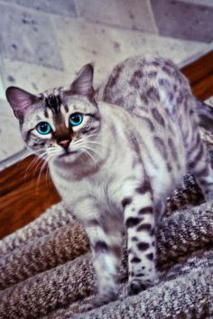 some bengals are generally talkative while others prefer to wait for the right time to communicate many bengal cats have an affinity for water and will