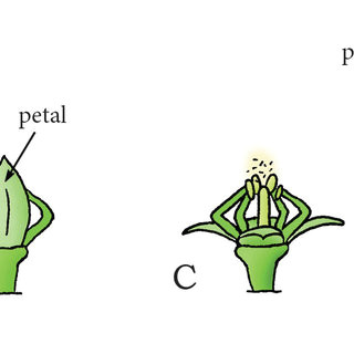 swelling coiling catapult mechanism in cornus canadensis a immature flower bud of c