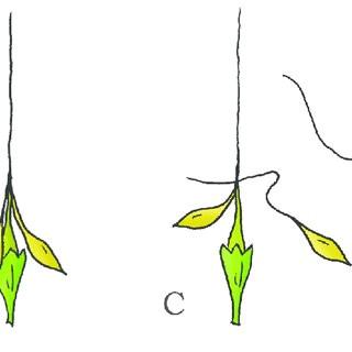 drying coiling catapult mechanism in the geranium erodium cicutarium a fruit consisting of