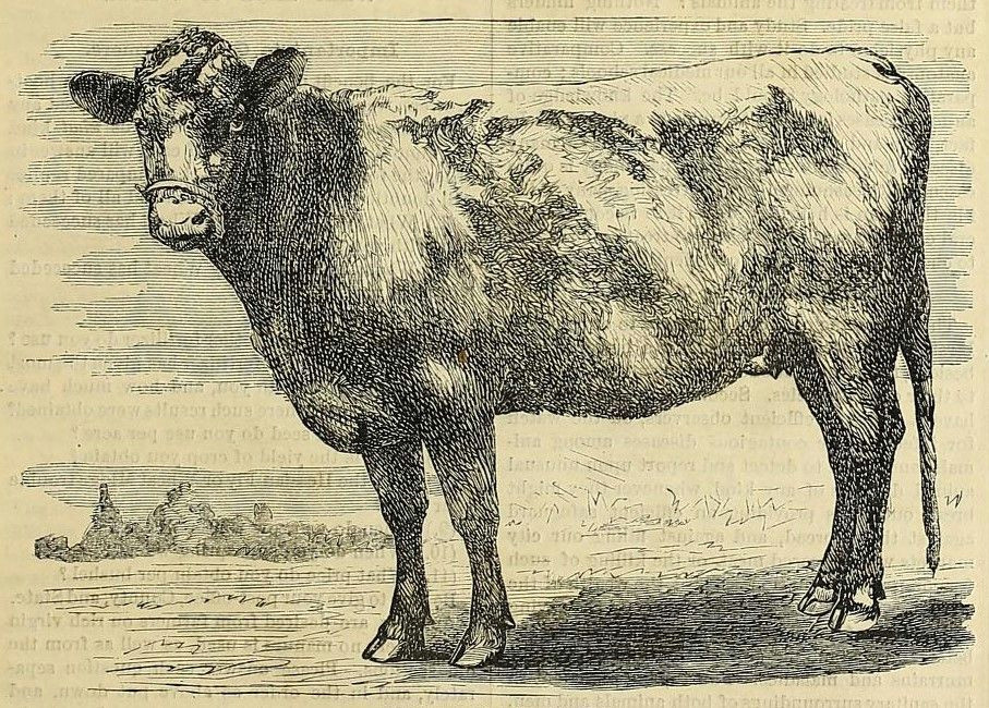 1878 cow drawing shabby chic style cow art