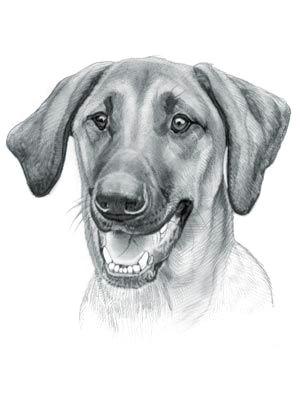 redbone coonhound dog redbone coonhound dog drawings dog names dog portraits dog