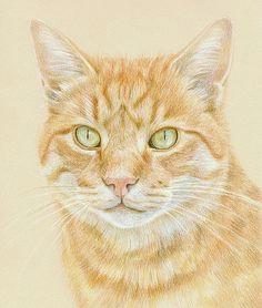 coloured pencil orange tabby cat portrait on canson mi teintes paper by katrina ann