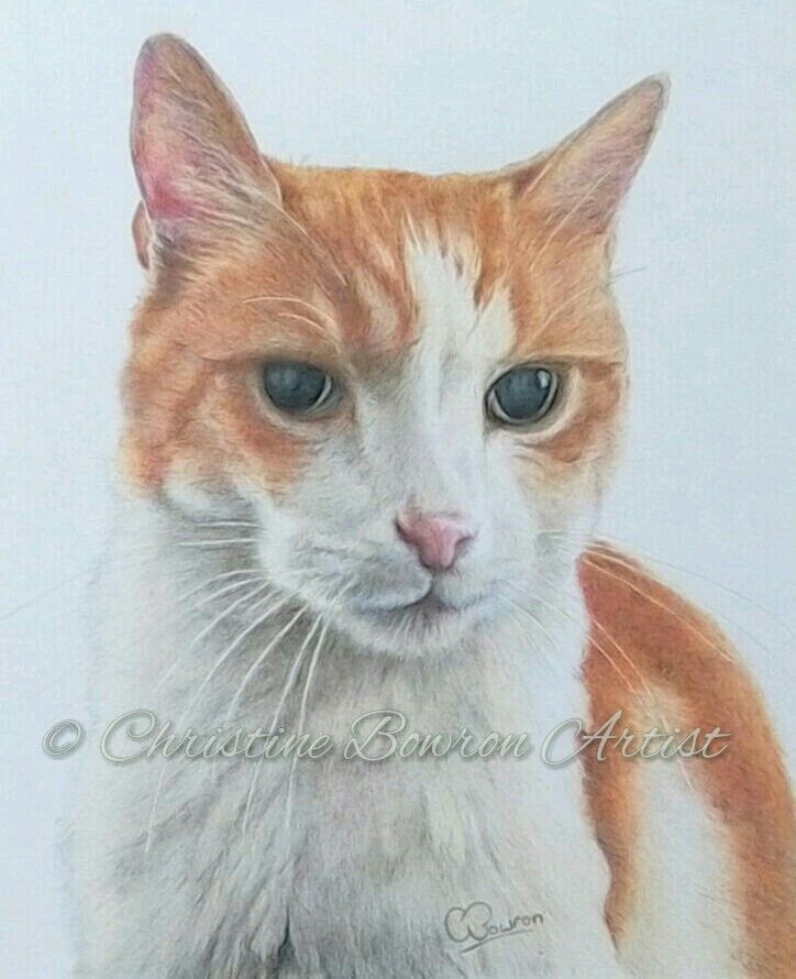 commissioned coloured pencil drawing of ted the ginger and white cat by uk artist christine bowron on a4 clairefontaine smooth bright white paper using