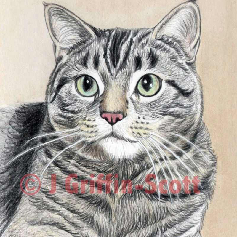 cat drawing in colored pencil