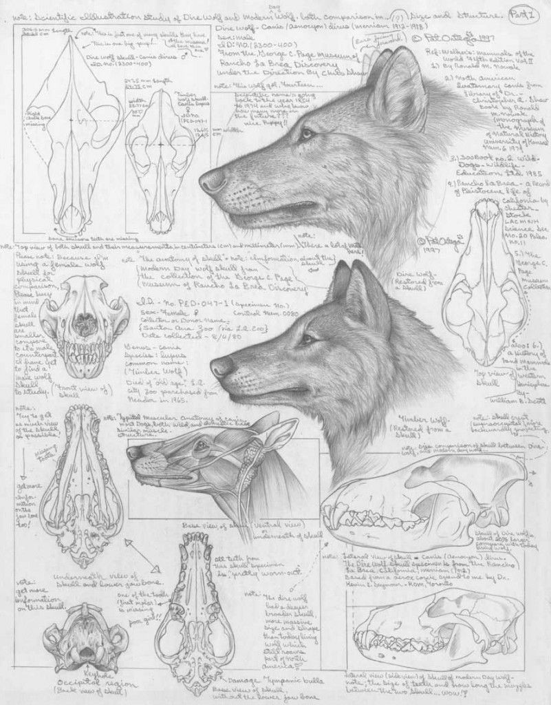 differences between dire wolves and grey wolves via the palaeocast podcast website
