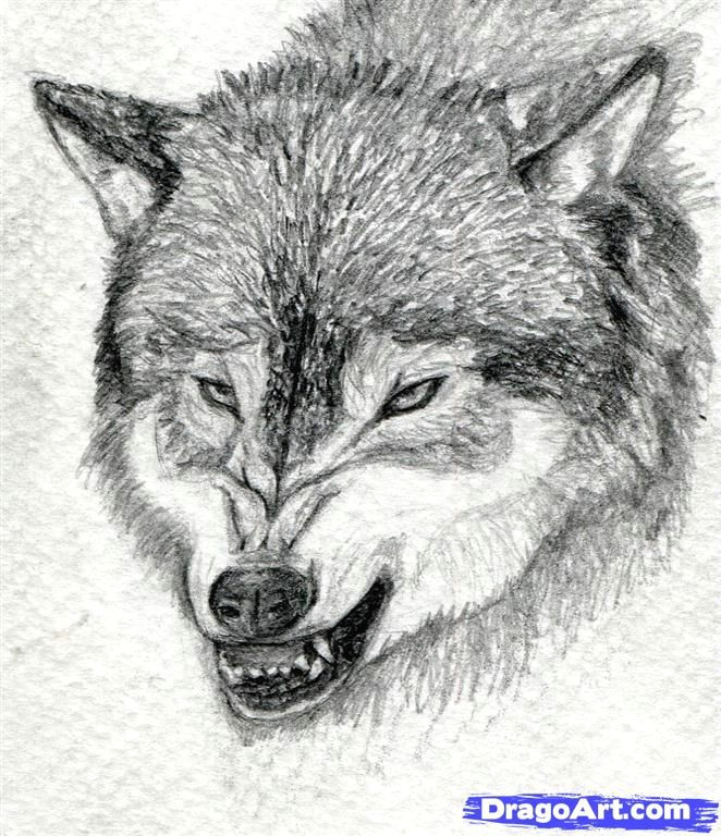 how to draw a growling wolf step 15