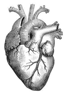 corazon humano dibujo realista buscar con google mas