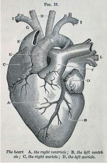 i just dissected a heart today and i had to name all of the veins and arteries and i got yay