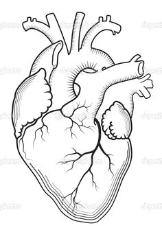 the internal human organ anatomical structure