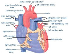 learning about the human heart heart structure parts of the heart body systems