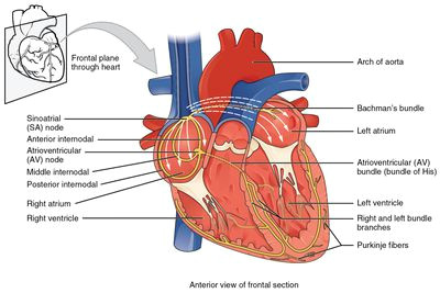 av and sa nodes electrical system of the heart a human heart