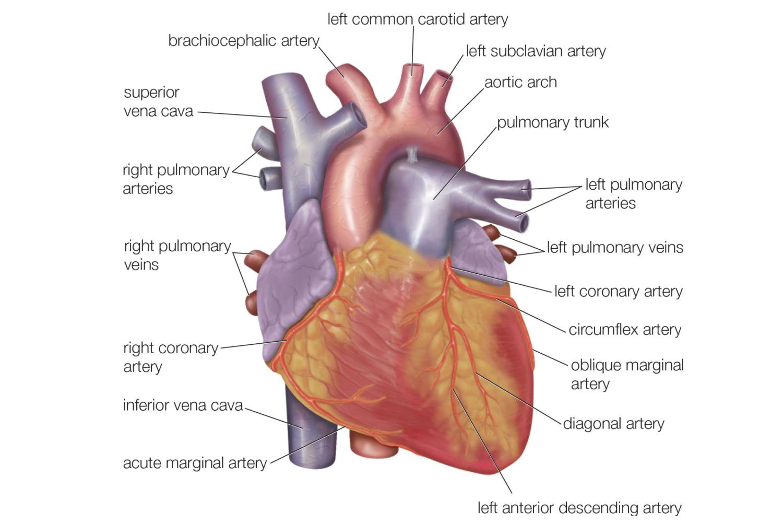 exterior heart anatomy exterior anatomy of the human