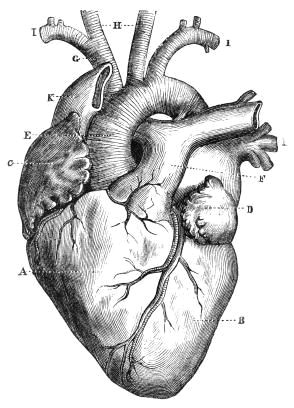 parents and teachers may want to examine a diagram of a human heart for kids for many reasons it can be used as part of a lesson plan at school
