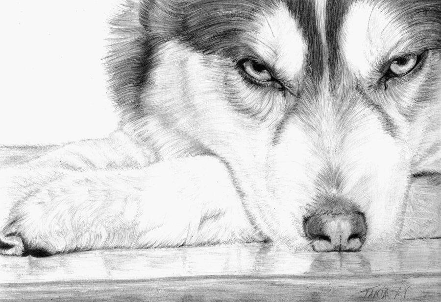 pencil drawing husky