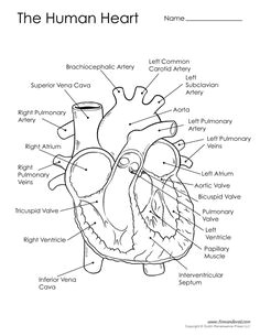 diagram of the human heart human heart diagram anatomy and physiology science diagrams