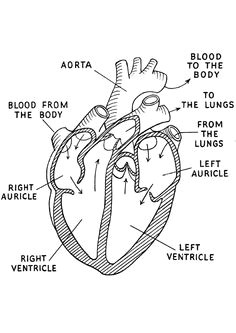 us wp content uploads 2015 11 black and white diagram of the human body heart diagram labeled