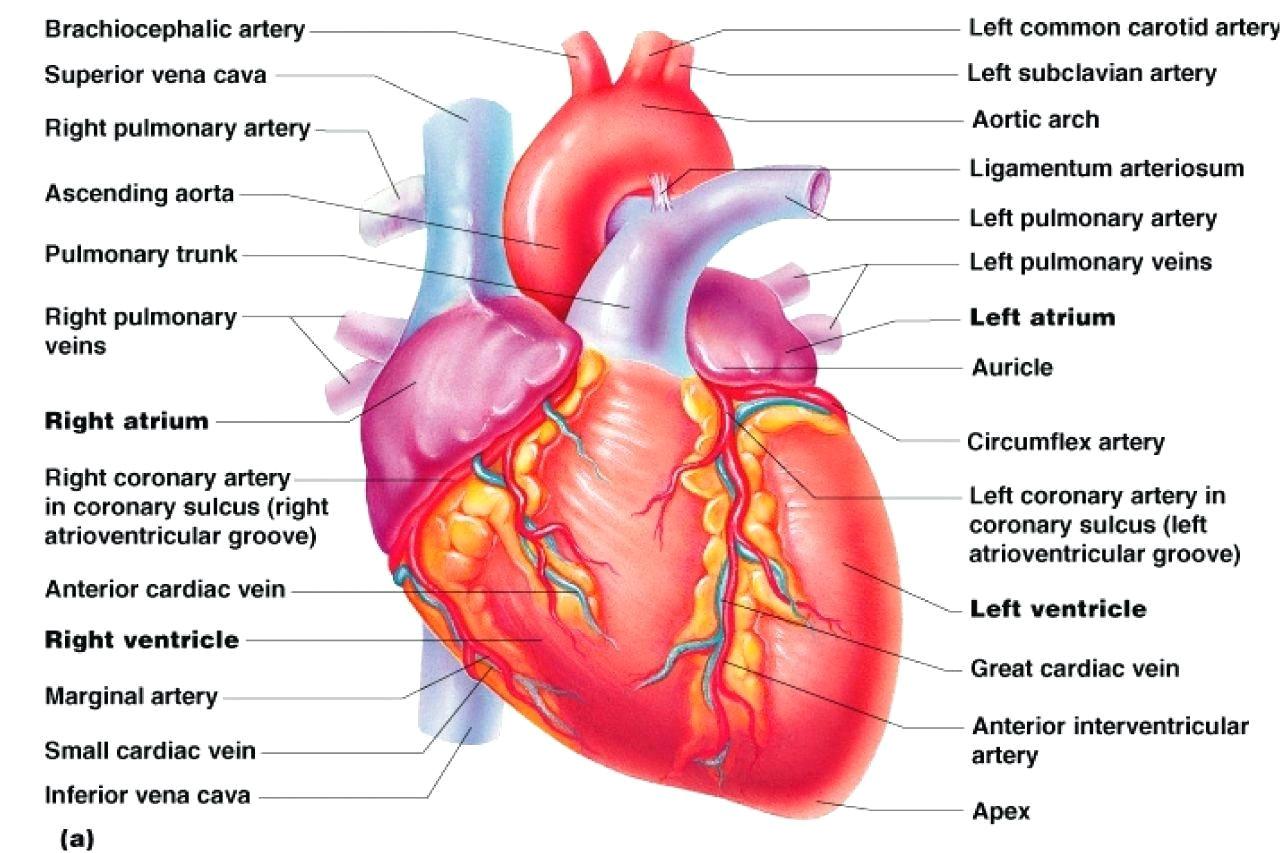 labeled cardiac muscle labeled cardiac muscle diagram cardiac muscle tissue diagram labeled