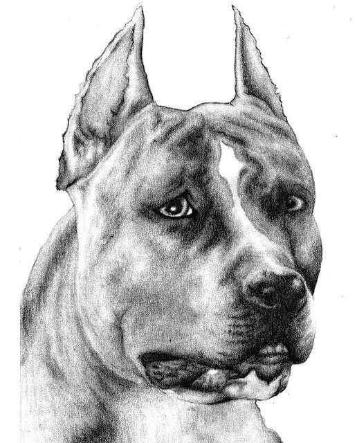 pencil sketch pitbull