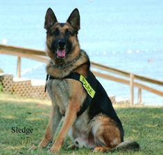 k9 police dog wearing a police vest red german shepherd german shepherd rescue police