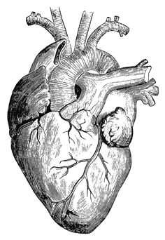 human heart art as spiral vortex within the human heart is