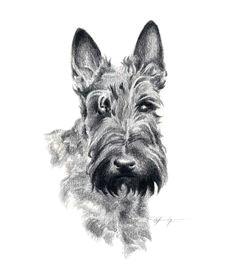 scottish terrier dog pencil drawing art print by artist dj rogers