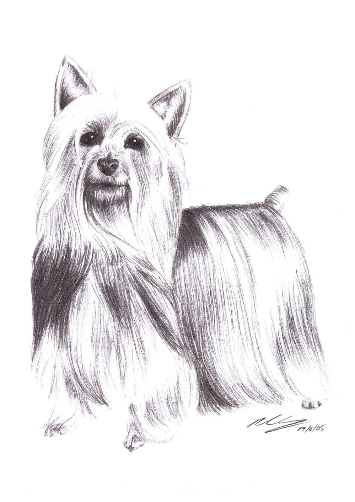 9 5 aud silky terrier dog standing pet pencil art signed a4 giclee print ebay collectibles