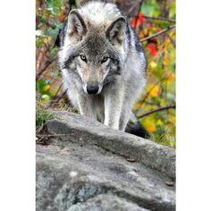 0 beautiful creatures animals beautiful cute animals wild animals husky wolf