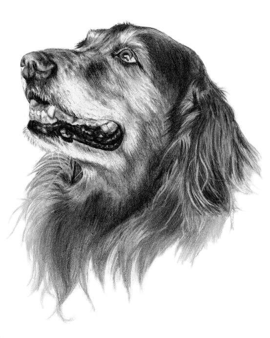 abby the golden retriever dog art sketch