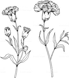 carnation flowers drawing and sketch with line art on white backgrounds royalty free