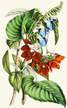 klugia notoniana and begonia miniata 1854 vintage botanical prints botanical drawings botanical
