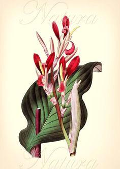 red vintage botanical illustration vegetable illustration plant illustration vintage botanical prints botanical drawings