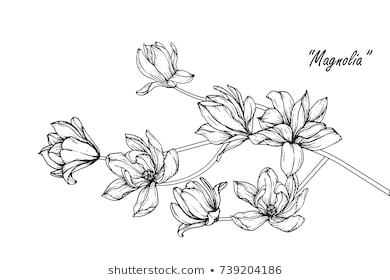 magnolia flowers drawing with line art on white backgrounds