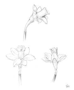 daffodil sketches akvarelove kva tiny kresby vodova mi barvami skicovana kresba tua kou aztekove
