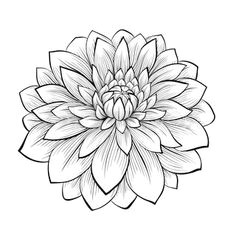 line drawing dahlia monochrome black and white dahlia flower isolated on white