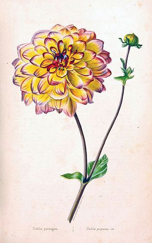 aztec dahlia old garden dahlia dahlia pinnata herbier general de l amateur deuxia me serie vol 1 1839 50