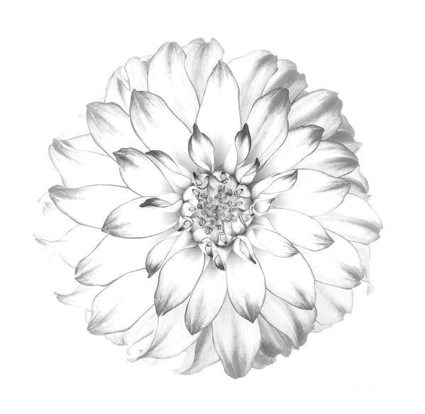 dahlia print featuring the photograph dahlia flower as drawing in black and white by rosemary