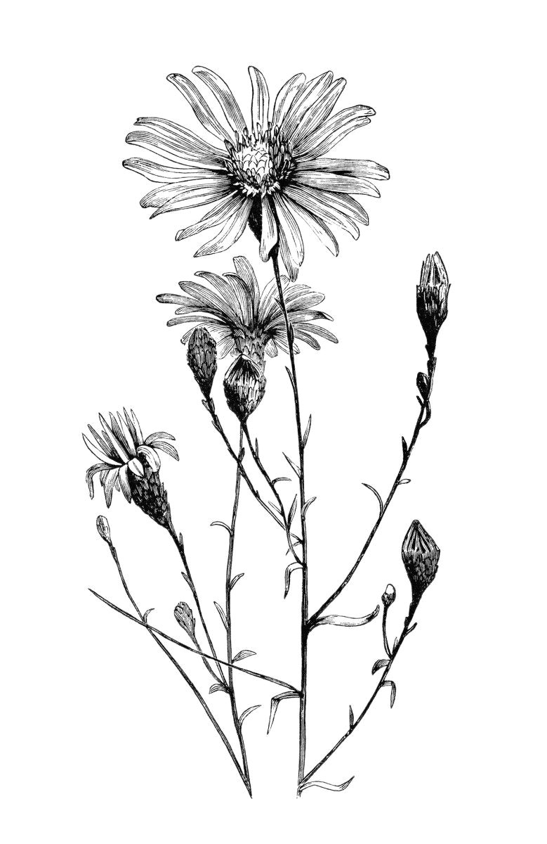 aster flower free vintage clip art image