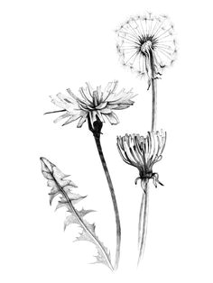 a great website to learn more about forgotten flowers and things we call weeds beautiful dandelion tattoo designdandelion drawingplant