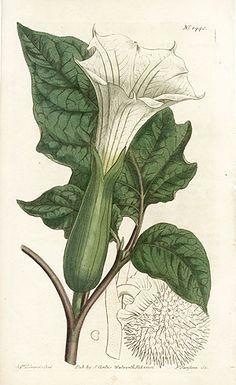 datura is a genus of nine species of poisonous vespertine flowering plants belonging to the family